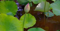 Lotus bed from the Lotus Garden, Washington DC  more at #FengShui #wlfs http://patricialee.me/