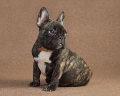 Introducing Wilbur a Lovableness Frenchie