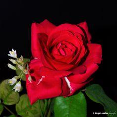 Rosa y alliums by Diego F. Molina García on 500px