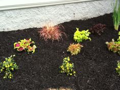 Kong Coleus and red fountain grass