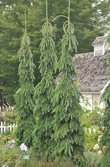 Picea glauca 'Pendula' Trevs window or by apple tree. Hedge Trees, Garden Trees, Trees And Shrubs, Trees To Plant, Landscaping Shrubs, Outdoor Landscaping, Outdoor Plants, Front Yard Landscaping, Columnar Trees