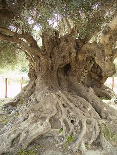 Ancient Olive Tree, Kavousi, Crete, Greece - perhaps dating back to Minoan times (roughly years old). Tree Forest, Tree Tree, Fig Tree, Unique Trees, Trees Beautiful, Greek Culture, Old Trees, Paludarium, Nature Tree