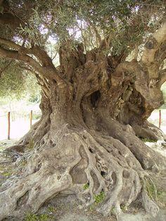 Ancient Olive Tree, Kavousi, Crete, Greece