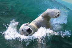 Polar Bear Swims  -  Everland Korea  -  2008   -  In Cheryl Kim photography   -  https://www.flickr.com/photos/floridapfe/2276021343/in/set-72157606580961594