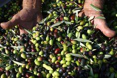 Nella tuscia Olio di Oliva #olio #tuscia #olive