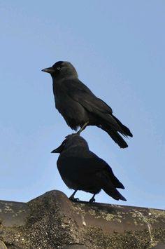 animals-riding-animals:  bird riding bird