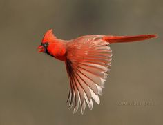 Flying Northern Cardinal! | www.jimridleyphotography.com/ | Flickr
