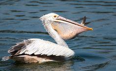 Pelican - Alchetron, The Free Social Encyclopedia