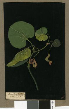Aristolochia Macrophylla (Gynandria Hexandria), from an album (Vol.I, 85); Solandri Birthwort. 1779 Collage of coloured papers, with bodycolour and watercolour, on black ink background, Mary Delany (1700-1788)