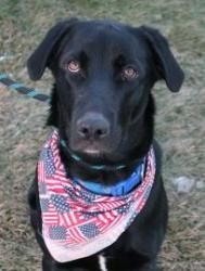 Miller is an adoptable Labrador Retriever Dog in Grand Rapids, MI. If Interested: Please call (616) 453-8900 or come visit the Humane Society.  Other Info: To adopt is as simple as filling out an Adop...