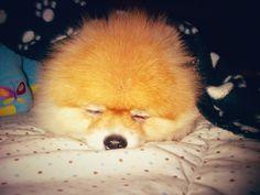 Fluffy #Hazelnut the pom