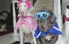 две серьезных собаки в нелепых одеждах и в очках с дворниками