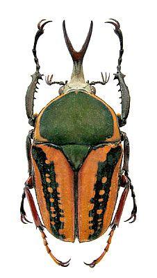 Megalorrhina harrisi procera Kolbe, 1884 (Scarabaeidae) Zair, Khoni - Shaba, XII.1990
