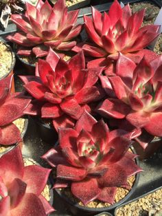 Echeveria agavoides 'Romeo Rubin' is a beautiful succulent that forms clumps of individual rosettes... #echeveria #succulentopedia #succulents #CactiAndSucculents #WorldOfSucculents #SucculentLove #succulent #SucculentPlant #SucculentPlants #succulentmania #SucculentLover #SucculentObsession #SucculentCollection #plant #plants #SucculentGarden #garden #desertplants #nature