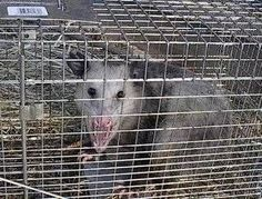 How to Get Rid of Possums, Raccoons & Squirrels in your yard with ammonia-soaked rags in containers