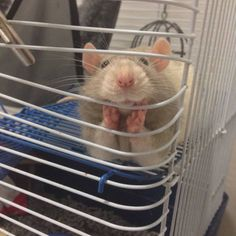 Funny pictures about And people say rats can't be cute. Oh, and cool pics about And people say rats can't be cute. Also, And people say rats can't be cute. Cute Rats, Cute Funny Animals, Funny Animal Pictures, Funny Cute, Funny Pics, Hilarious, Videos Funny, Adorable Pictures, Funny Pictures With Captions