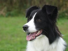 BORDER COLLIE - Carson will be training our puppy, His Girl Friday (Friday for short) for agility and working