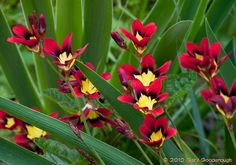Red Sparaxis Flowers by Gary Goodenough, via Flickr