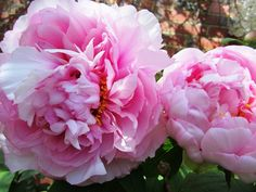 Peony 'Sarah Bernhardt' is a very easy growing and has masses of lovely perfumed blooms that are perfect for cut flowers- this is a good peony to begin your growing journey with. The Garden Times
