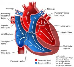 Anatomy of the Heart. Blood from starts in Right Atrium (RA), to Right Ventricle (RV), into pulmonary arteries, into pulmonary veins, through Left Atrium(LA),fillings the Left Ventricle(LV) and into the Aorta.