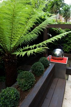 Chunky raised beds planted with box balls are softened with tree ferns #treeferns #railwaysleepers #boxballs #moderncourtyard