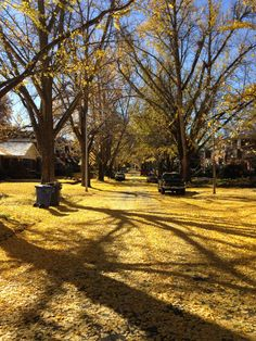 Good afternoon Ginkgos- 11/12/13 Lexington - Ashland Park.