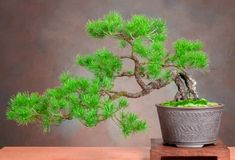 pin it for later. The semi-cascade bonsai style resembles the cascading design and is also seen in nature along high cliffs as well as near the financial institutions of rivers and lakes. Bonsai Tree Care, Bonsai Tree Types, Indoor Bonsai Tree, Indoor Trees, Japanese Bonsai Tree, Above The Rim, Pine Bonsai, Waterfall Design, Bonsai Styles