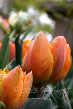 Tulip 'Orange Princess1'