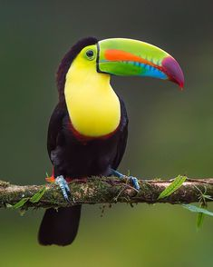 "Travel | Vacations | Nature on Instagram: ""Keel-billed Toucan also the smallest in the Toucan family can be found In central and South America. Very social and friendly birds. Photo…"""