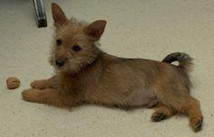Australian Terrier | Datei:AustralianTerrierWelpe.jpg – Wikipedia