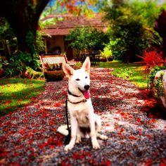 Em meio as minhas muitas aventuras vez ou outra meu caminho cruza com um tapete de flores...  Amidst my many adventures now than I stumble upon a carpet of flowers  #dog #dogsofinstagram #filhote #puppy  #ilhabela #whiteswissshepherd #pastorbranco #instadog #balunailha #dog_features #puppiesxdogs #mydogiscutest #lacyandpaws #shepherdlovers #pastorsuiço #swissshepherd #sendadogphoto #dogsonadventures #adventuredog #hikingwithdogs by balunailha