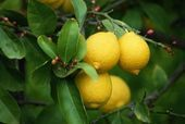 Although Meyer lemon trees (Citrus meyeri) are small and compact, they tend to be more productive than true lemons. Also known as improved Meyer lemon, Chinese dwarf lemon or dwarf lemon, the trees grow to a height of 6 to 10 feet. Budget Patio, Limoncello, Acacia, Eureka Lemon Tree, Indoor Lemon Tree, Meyer Lemon Tree, How To Grow Lemon, Hydrangea Bush, Citrus Trees