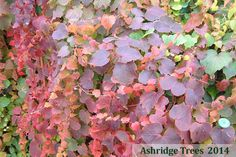 Parthenocissus tricuspidata 'Veitchii', native to China and Japan, is a very elegant climber with lovely fresh green three lobed leaves during the summer that turn the most magnificent burgundy in autumn.