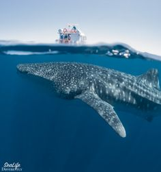 """Did someone say """" swim with Whale Sharks""""?"""