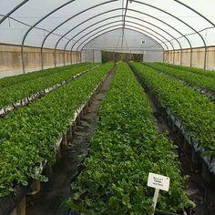 Rocket plantation at Allee Bleue Plantation, Herb Garden, Outdoor Activities, Herbs, Outdoors, Nature, Blue, Naturaleza, Herbs Garden