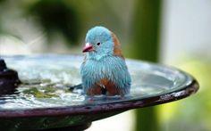 mavi kuş banyosu vektör