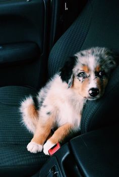 Best Images dogs and puppies austrailian shepard Thoughts Accomplish you're keen on your canine? Of course, people do. Good doggy proper care as well as coaching wil Cute Baby Dogs, Cute Dogs And Puppies, Pet Dogs, Dog Cat, Doggies, Cute Pets, Funny Pets, Weiner Dogs, Aussie Puppies