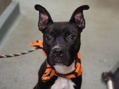 ABLE - A1059060 - - Brooklyn  TO BE DESTROYED 12/07/15  ** AVERAGE SAFER **  Able is barely 1 year old and already he found himself walking the streets for food and shelter. Love and affection are commodities that Able has only received in small measures, but Able is amazingly practiced at offering lovable companionship. Able is a  really amicable fellow, and he earned an awesome AVERAGE on his SAFER. He's on the small side for a pit bull mix at only 47 pounds. Let's be