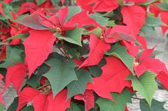 Pointsettias can be used as potted flowers or as cut flowers. They are great for holiday arrangements. Growing Flowers, Cut Flowers, Poinsettia, Flower Pots, Potted Flowers, Jpg, Plant Leaves, Canning, Plants