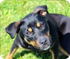 Quakertown, PA - Rottweiler/Shiba Inu Mix. Meet Cece, a dog for adoption. http://www.adoptapet.com/pet/10838247-quakertown-pennsylvania-rottweiler-mix thru Last Chance Ranch Animal Rescue  in #Quakertown pets@lastchanceranch.org  Ph 215-538-2510