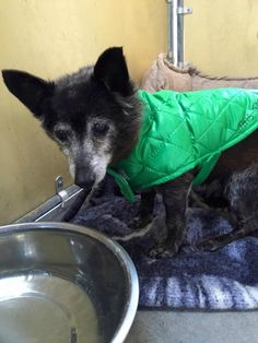 STILL LISTED- 12/05/2016. Goosh. 16 years old. Dumped at Downey  Please share and help Goosh get adopted!