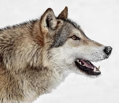 Wolfish Smile by © Wes and Dotty Weber