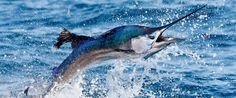 Blue Marlin unas de las capturas mas deseadas en la pesca en agua salada o Big Game