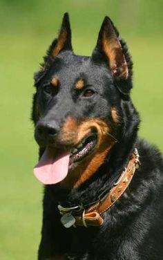 Homepage des Österreichischen Club für Beauceron (ÖCB) - französischer Schäferhund