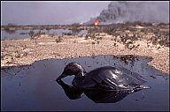 KUWAIT. Gulf War. 1991. - KUWAIT. 1991. Wild duck in pool of crude oil, released by burning oil wells set on fire by retreating Iraqi troops. - Abbas