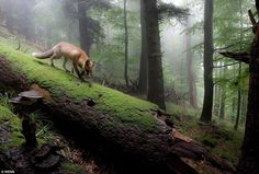 """""""Fox in Fog Forest."""" Runner-up in the Mammals Category in the German Nature Society's Photographer of the Year 2013.  Photographer: Klaus Echle"""