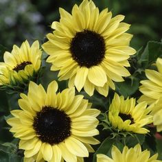 Sunflower Garden Ideas great containers for gardening Find This Pin And More On Garden Ideasplants