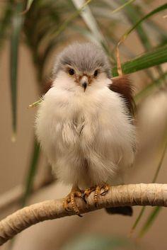 My feathered friend.  Pygmy falcon (Polihierax semitorquatus)  by Alex Dawson