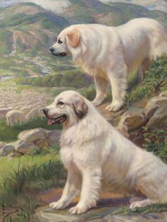 Two Great Pyrenees dogs guard a flock of sheep Giclee Print by National Geographic Society Vintage Prints, Vintage Images, Puppy Pictures, Dog Photos, Animal Pictures, Pyrenean Mastiff, Great Pyrenees Dog, White Dogs, Pyrenees