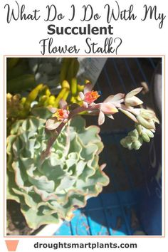 What Do I Do With My Succulent Flower Stalk - leave it, or cut it off?